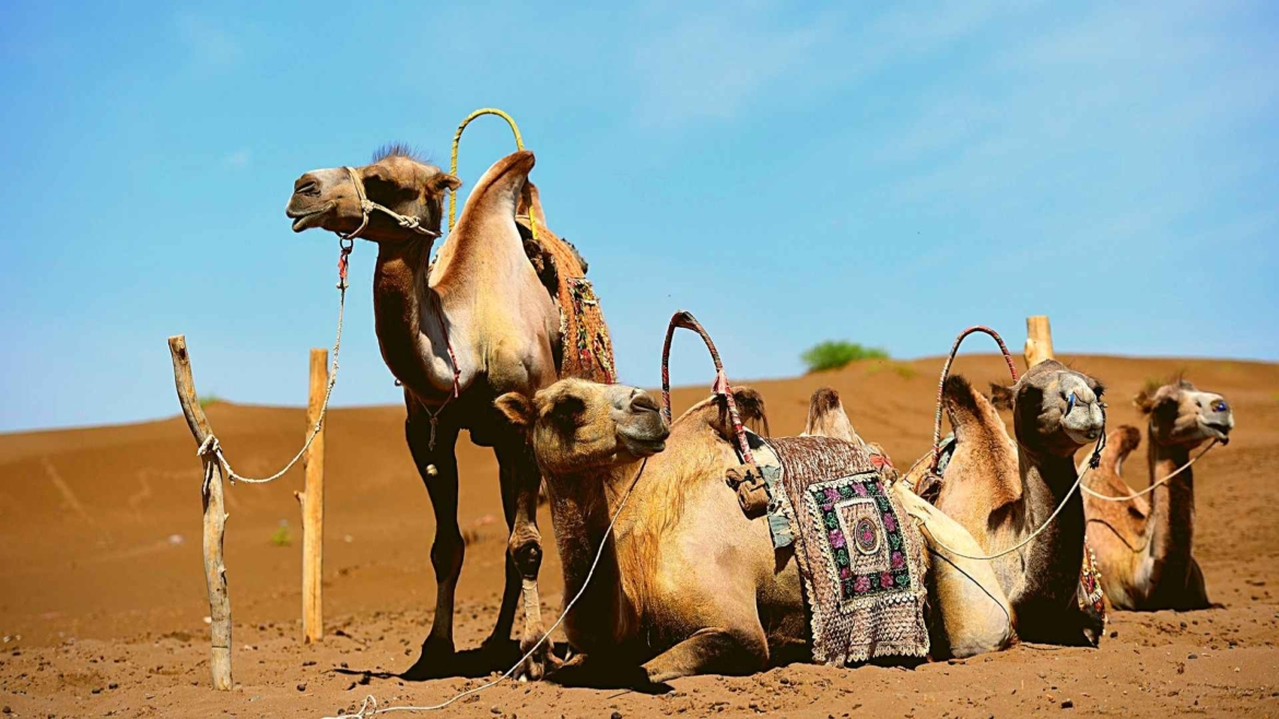 Xinjiang travel- Camels in the desert