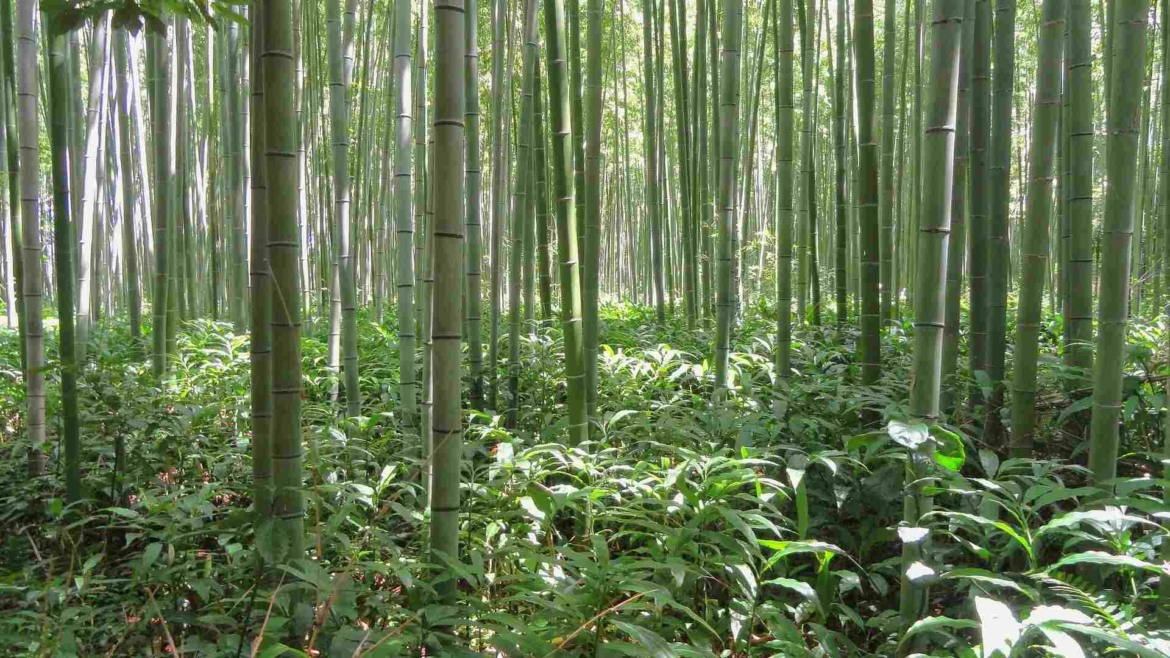 Subtropical bamboo forest in Japan